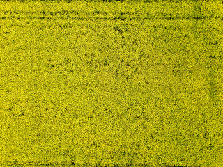 Wall Mural - Aerial view of yellow rapeseed field a spring day