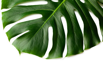 Dark green leaves of monstera  isolated on white background