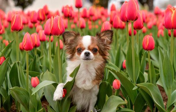 chihuahua tulips