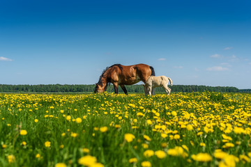 horse and foal graze on the field with dandelions