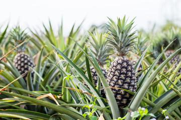 Pineapple with sky.