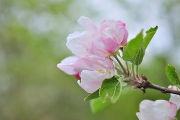 Apple tree branch in spring bloom