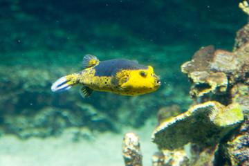 Arothron sp - Pesce palla