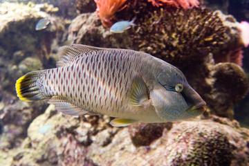 Cheilinus undulatus - Pesce Napoleone