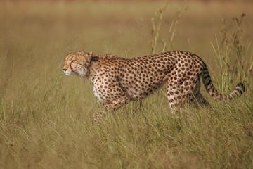 African cheetah, Masai Mara National Park, Kenya, Africa. Cat in nature habitat. Greeting of cats (Acinonyx jubatus)