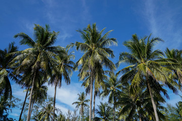 Palm trees against blue sky, Palm trees at tropical coast, Coconut tree, Summer tree