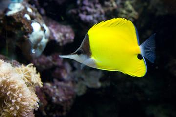 Forcipiger flavissimus - Pesce pinzetta