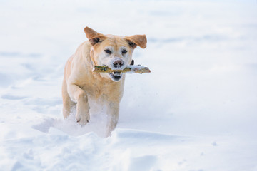 """Labrador retriever dog executes the command """"aport"""". The dog walks through the snow in winter and carries a stick in his teeth"""