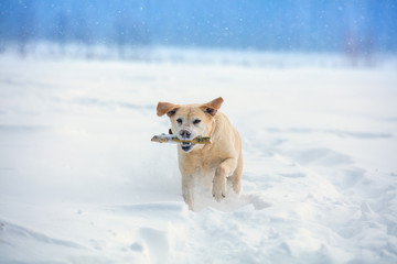 "Labrador retriever dog executes the command ""aport"". The dog walks through the snow in winter and carries a stick in his teeth"