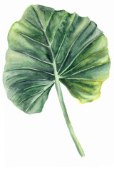 Watercolor illustration of leaf. Tropical plant from the family Araceae. Elephant ear, Heart of Jesus,  Angel Wings. Isolated on white background