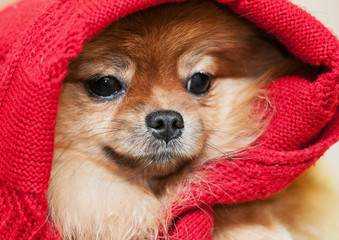 The Pomeranian spitz-dog in a red scarf