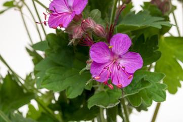 geranium macrorrhizum blossoms