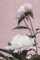 Flowering white peony flowers in the garden of the house