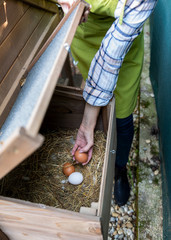 Unrecognisable woman collecting free range eggs from chicken house. Egg laying hens and young female farmer. Healthy organic eating lifestyle.