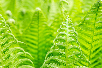 Vibrant natural green fern texture pattern. Beautiful tropical forest or jungle foliage background. Fresh spring foliage