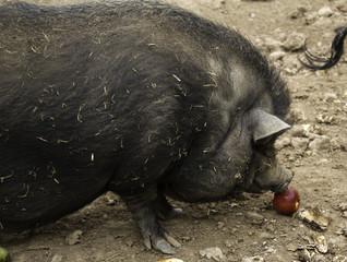 Vietnamese farm pig