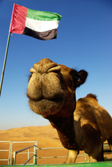 Portrait of a camel against the background of the flag of the UAE.