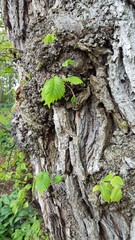 Close up of tree bark with new green leaves grownin