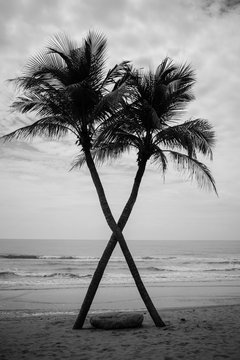 interesting coconut tree crossing on the beach in back and white tone