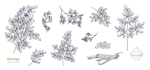 Set of detailed botanical drawings of Moringa oleifera leaves, flowers, seeds, fruits. Bundle of parts of tropical plant hand drawn with black contour lines on white background. Vector illustration.