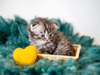 A small lop-eared pedigreed kitten on a green wool carpet and a yellow decorative heart close-up.