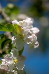 Apfelbühte