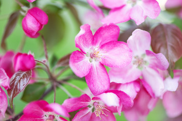 Defocus floral background spring cherry flowers
