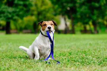 Sad lost dog with leash in mouth as concept of abandon pet needs adoption