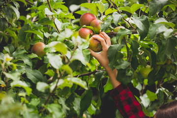 Toned closeup photo of hand reaching for apple growing on top of tree in orchard