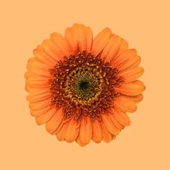 Gerbera flower, orange against plain background