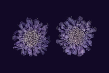 Scabiosa flowers, purple against plain background