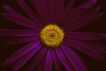 Marguerite flower, purple and yellow, close-up