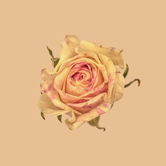Rose, yellow and pink against plain background