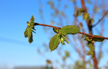 Sprig of hazel with fresh young green leaves in spring.