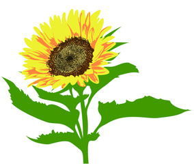 Vector illustration of sunflower with leaves isolated on white background