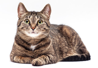 Tabby cat on white background.