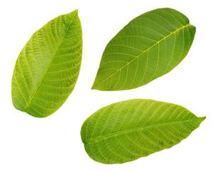 Walnut leaves isolated on white background