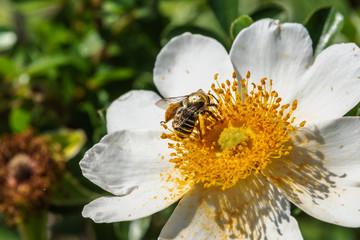Honeybee going for the pollen!
