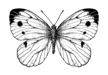 Cabbage butterfly drawing on white background. Element for design.