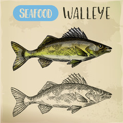 Sketch of walleye or perciform fish, pickerel