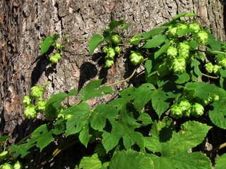 Wild hops dangle after tree trunks, Humulus lupulus, Cannabidaceae