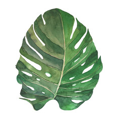 Watercolor illustration of monstera. Exotic plant.