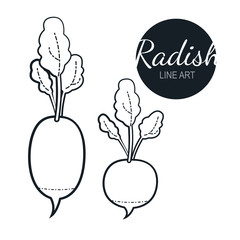 radish linear graphic design. Black and white image of vegetables. Vector illustration line art