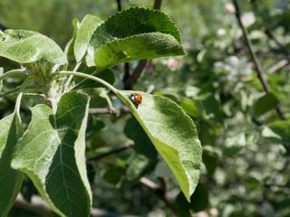 Ladybug on leaf. Ladybug enjoying some quite time on the leaf