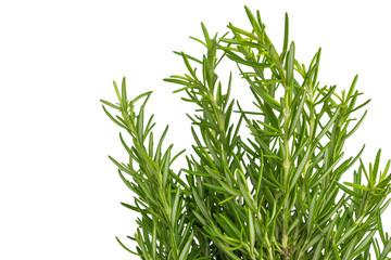 Fresh thyme herb. Fresh organic flavoring thyme plants growing.