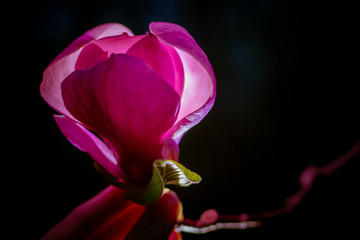 Magnolia magical alight shining in the night fucisia pink blooming flower bud in hand. Copyspace