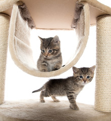 Two kittens playing in cat tree
