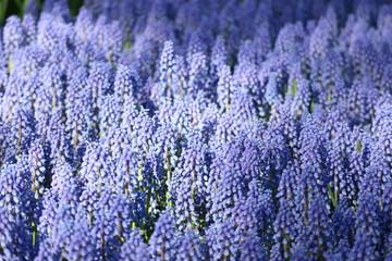 Blue muscari flowers field, Netherlands