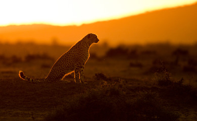 Cheerah at sunrise
