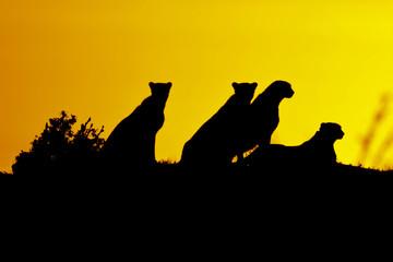 Silhouette of cheetahs